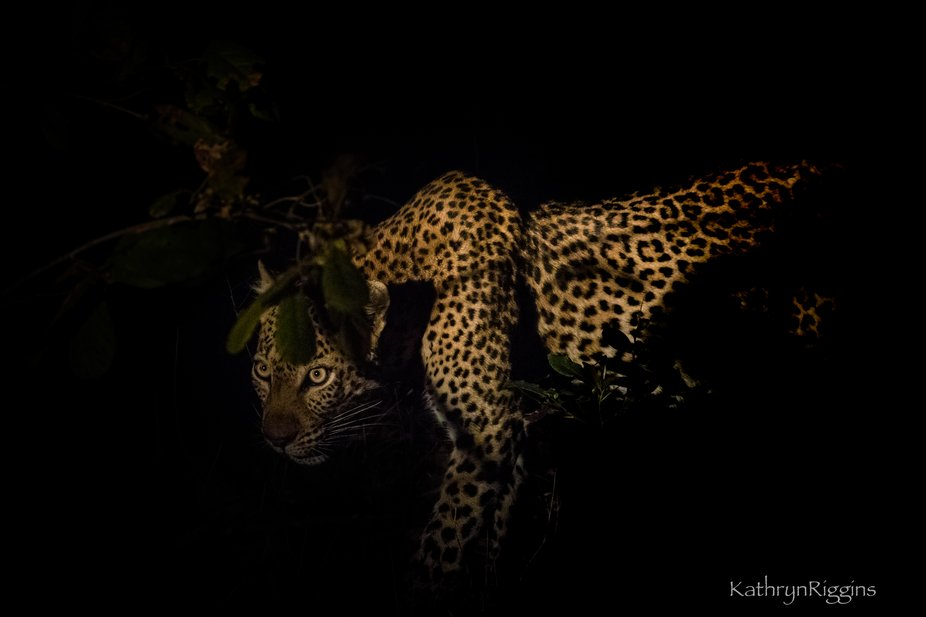 A leopardess emerges from the dark of the bush.  Ever alert, ever watchful
