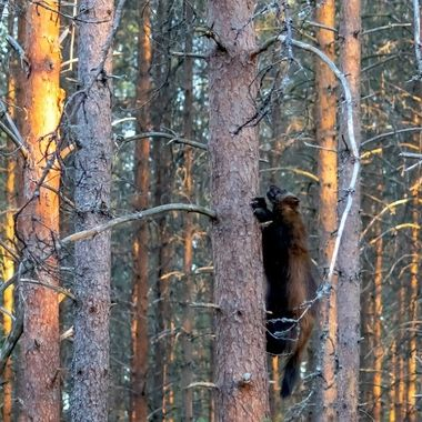 Wolverine_in_a_tree