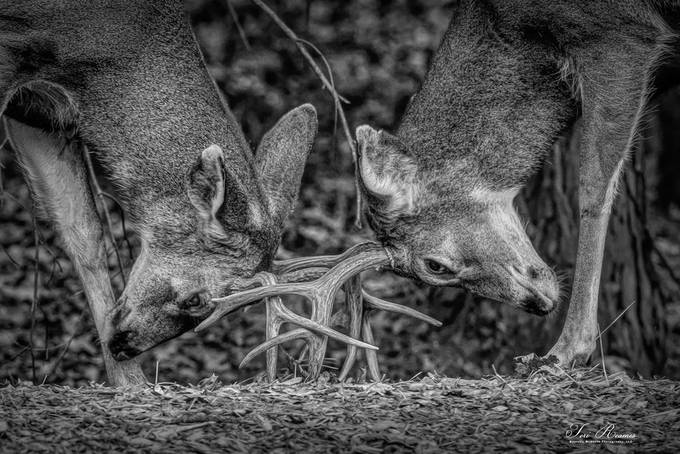 Dueling Deer In Black & White . . .  by Teri_Reames - Our World In Black And White Photo Contest