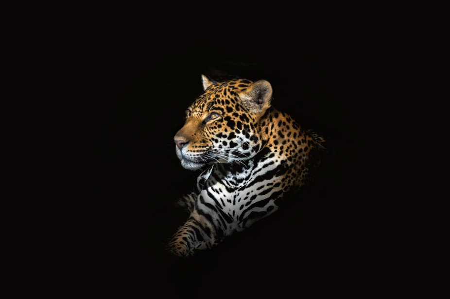 I wanted to create a jaguar portrait to emphasis the beauty of its facial structure and fur. I lo...