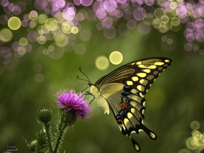 Bokeh Butterfly by DorothyDayPhotography - Monthly Pro Photo Contest Vol 44