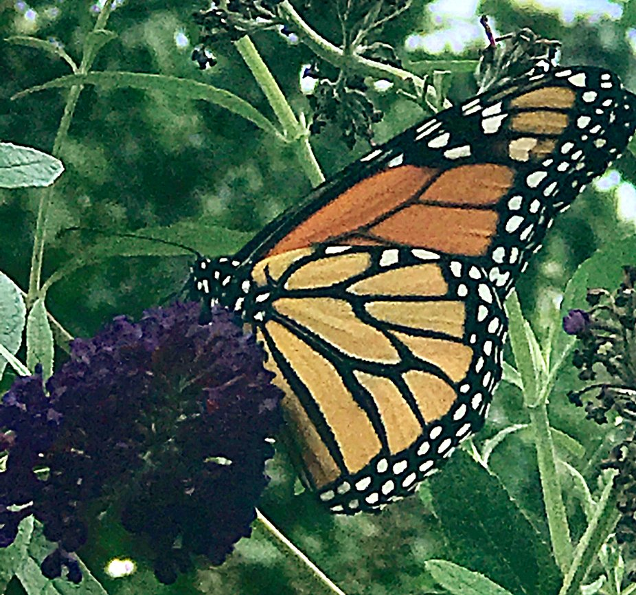 Gorgeous Monarch.