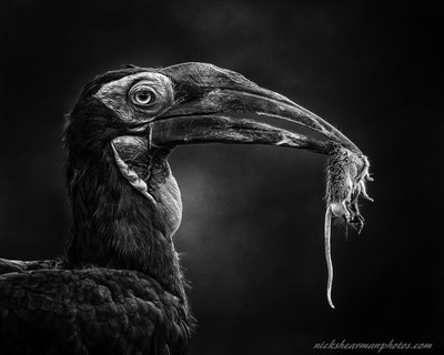 _MG_1190-Southern Ground Hornbill-B&W-nickshearmanphotos.com
