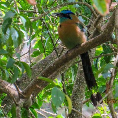 Motmot, Costa Rica,IMG_0802-2