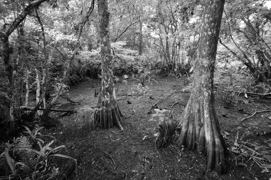 An exceptionally dry season at Corkscrew Swamp Sanctuary