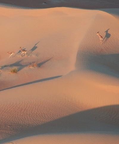 Desert Deer