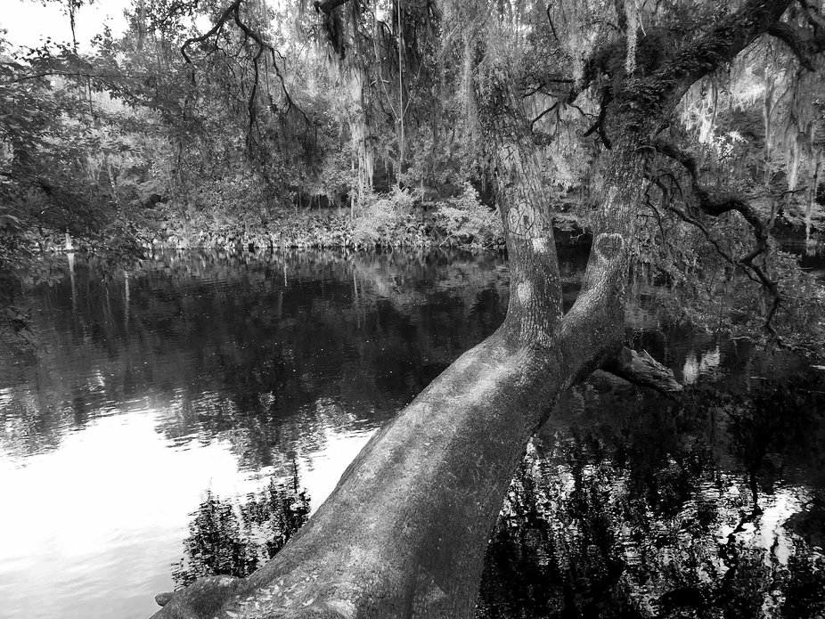 A great Southern Oak leans over the Santa Fe River in Florida.  Some people carved hearts into the trunk to memorialize their love for one another.