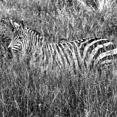 Zebra in the grass in B and W
