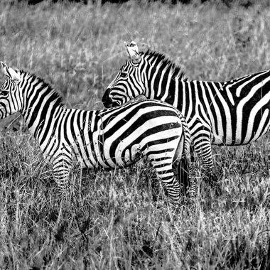 Nairobi Zebras in B and W