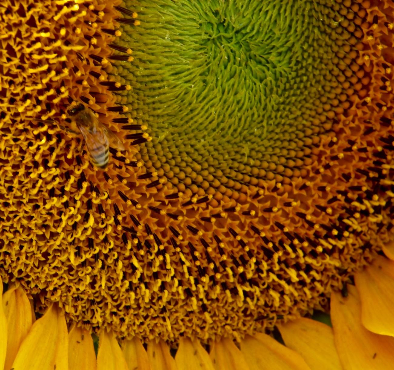 Making honey from sunflowers
