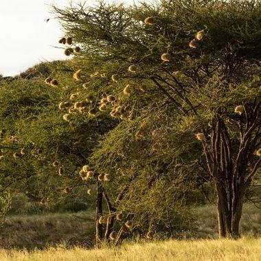 Weaver Bird Tree