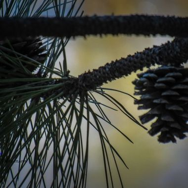 Cool branch with a pine cone