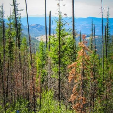 White Mountain Fire Overlook, burned & new life from a fire 30 years ago.
