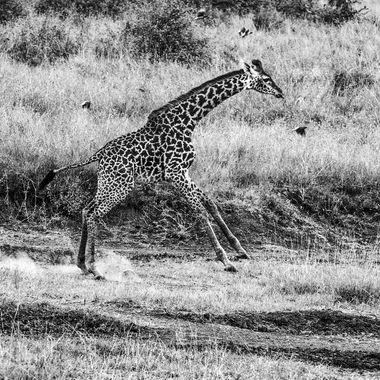 Nairobi Giraffe Cantering? in B and W