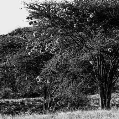 Weaver Burd Tree in black and white