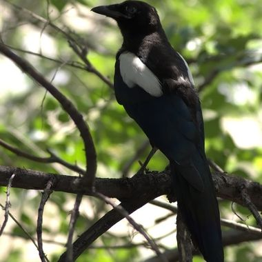 Majestic Magpie posing in dappled light