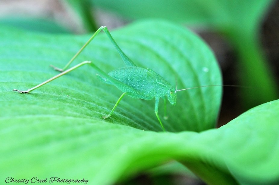 A beautiful grasshopper trying to camouflage himself against a hosta plant leaf.  He has beautifu...