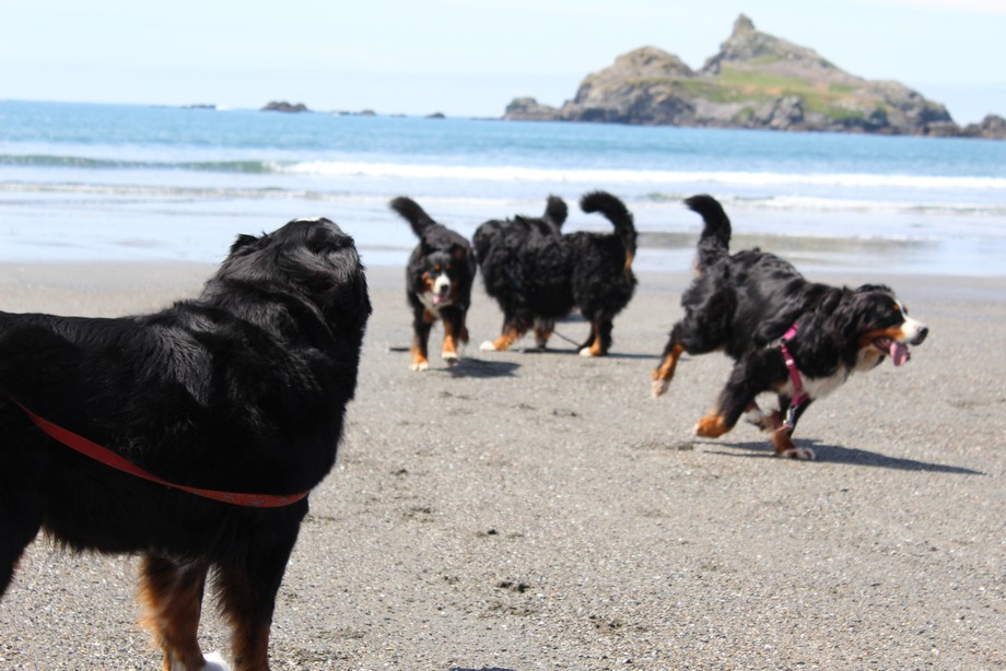 MY 5 BEAUTIFUL, BIG AND FUZZY BERNESE MOUNTAIN DOGS ALL HAVING A BLAST AT PEBBLE BEACH, CRESCENT ...