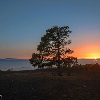 View of 3 of the Canary Islands over a sea of clouds during the sunset. Pine tree at the front.