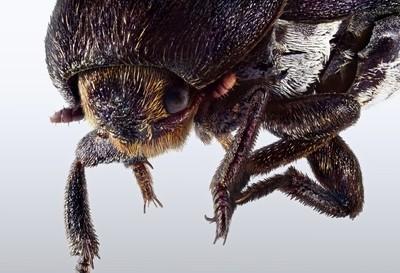 Extreme macro of cockchafer beetle