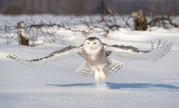 Snowy Owl by tomingramphotography - Winter Wildlife Photo Contest