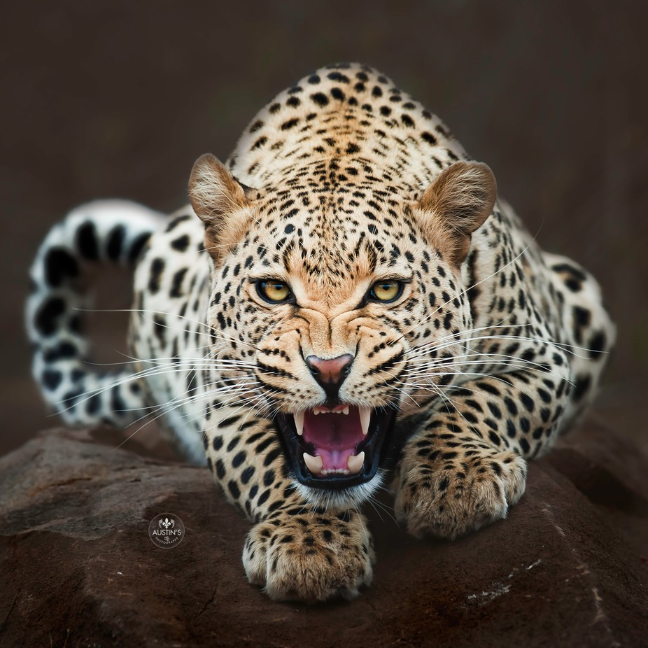 Leapord is hungry!  by austinsphotography - Covers Photo Contest Vol 48