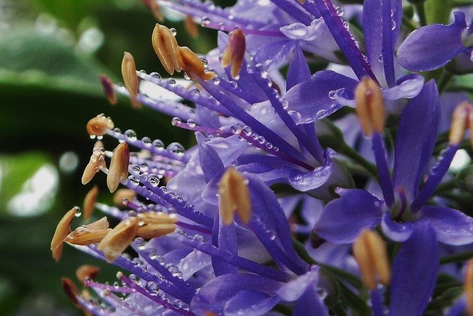Morning rain on flowering Hebe.
