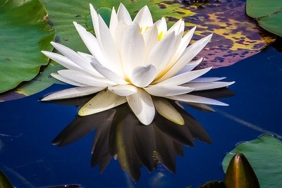 A single white water lily