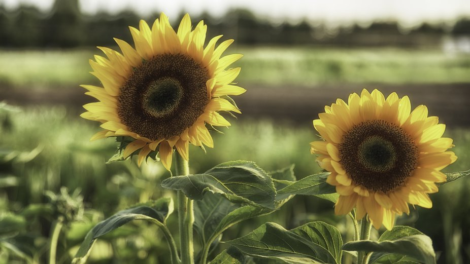 Is it yellow?  Yes it is a brilliant, beautiful yellow sunflower ablaze with the setting sun behi...
