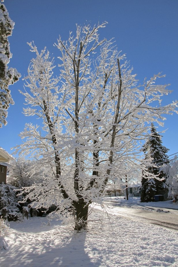 This is the maple tree in my front yard after the first snow fall.
