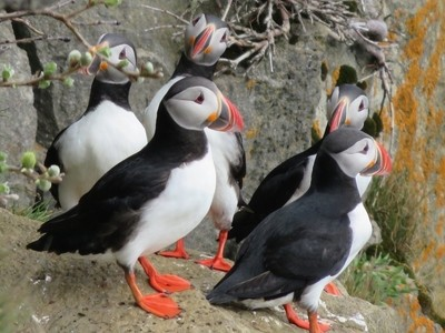 Iceland - Lundey Fjord - Puffins 2