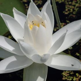 White Lily on Pike Lake