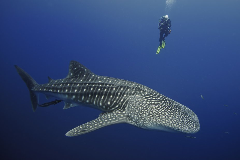 While scuba diving in Cenderawasih Bay had a great encounter with several Whale sharks.  It was a...