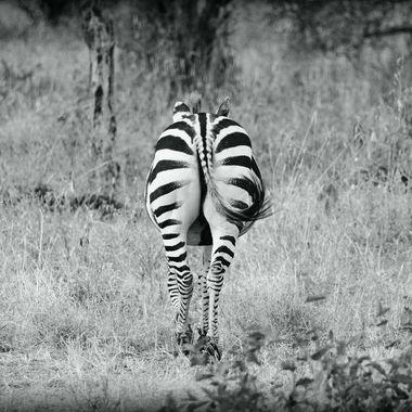 Picture of a zebra from Tarangire in Tanzania, 2015.