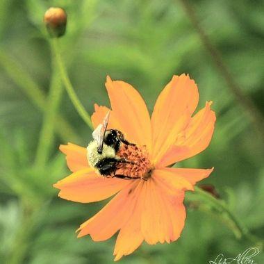 Bee Series II