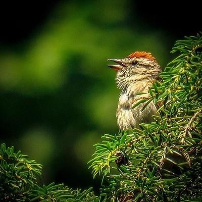 Just chipping away. Male Chipping Sparrow calls from an evergreen.  #chippingsparrow #birding #birdphotography #birdwatching #pocket_birds #raw_birds #canon_photos #canonphotography #best_birds_of_ig #bird_brilliance #mybirdwatch #naturyst #elite_worldwid
