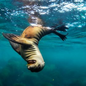 A small sea lion plays with a leaf
