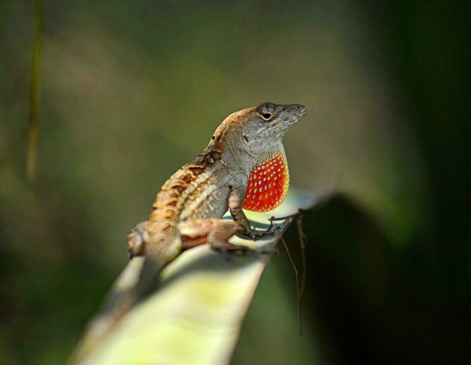 Garden Lizard Macro 1