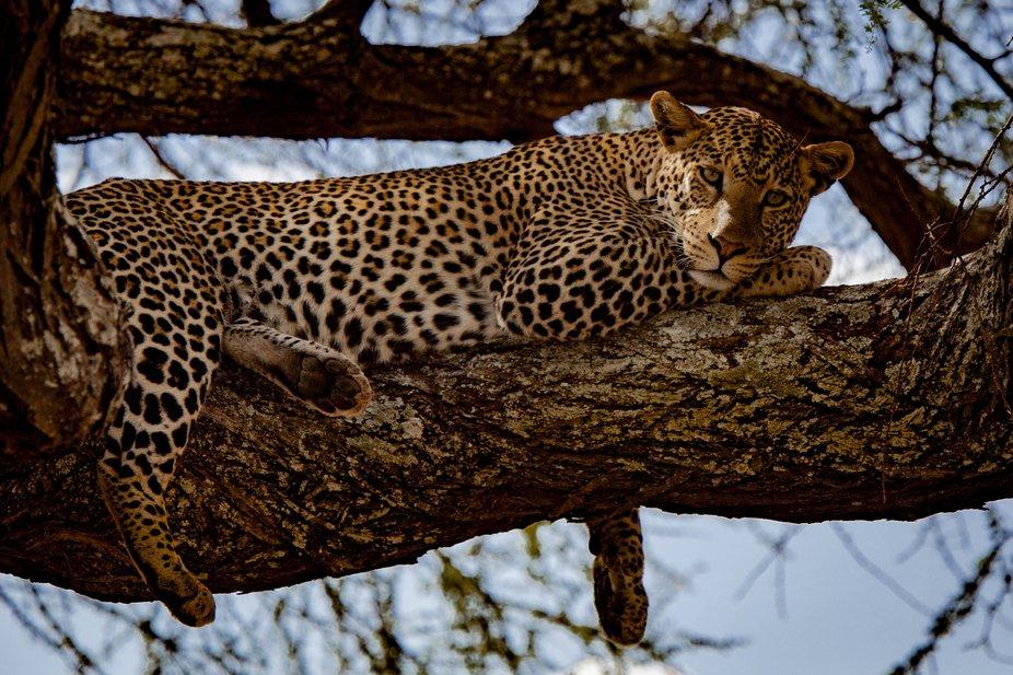 leopard, Tanzania