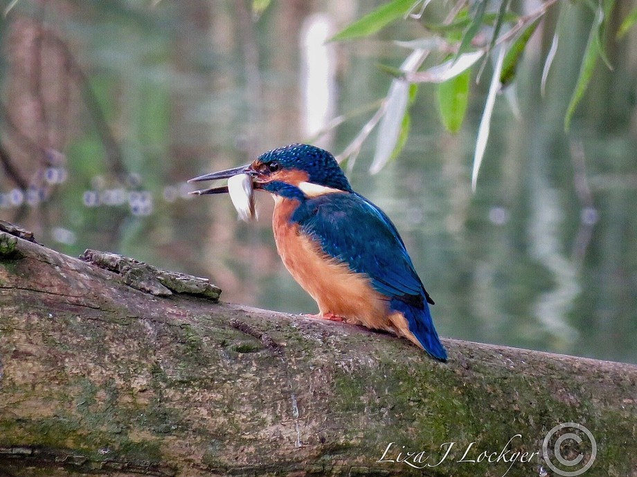 Male kingfisher with his lunch, warnham nature reserve West Sussex uk