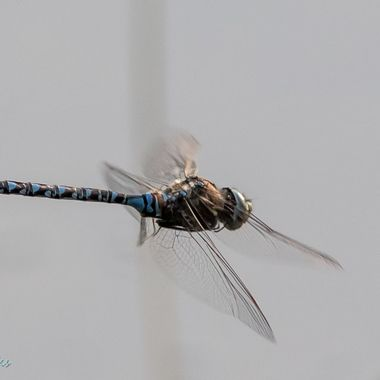 0P6A9397-2  Dragonfly in Flight
