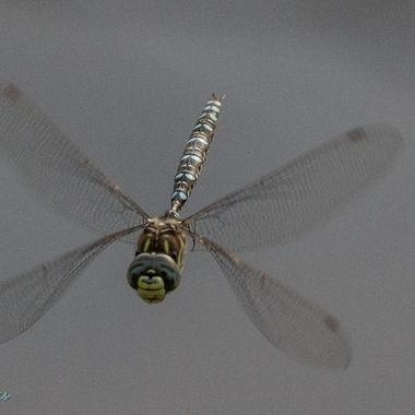 0P6A9401 Dragonfly in Flight