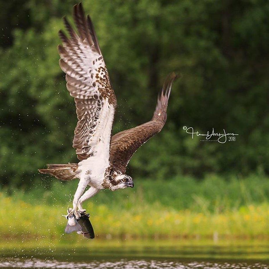 Gotcha! . . .  #osprey #scottishwildlife  #bbcwildlifemagazine #scottishwild by howardashton-jones - Majestic Eagles Photo Contest