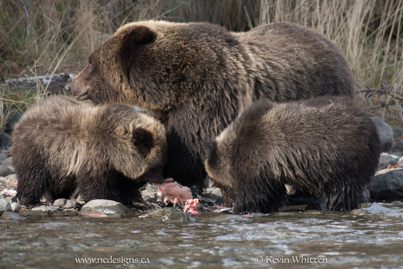 091017-BC Grizzly Bears-2795