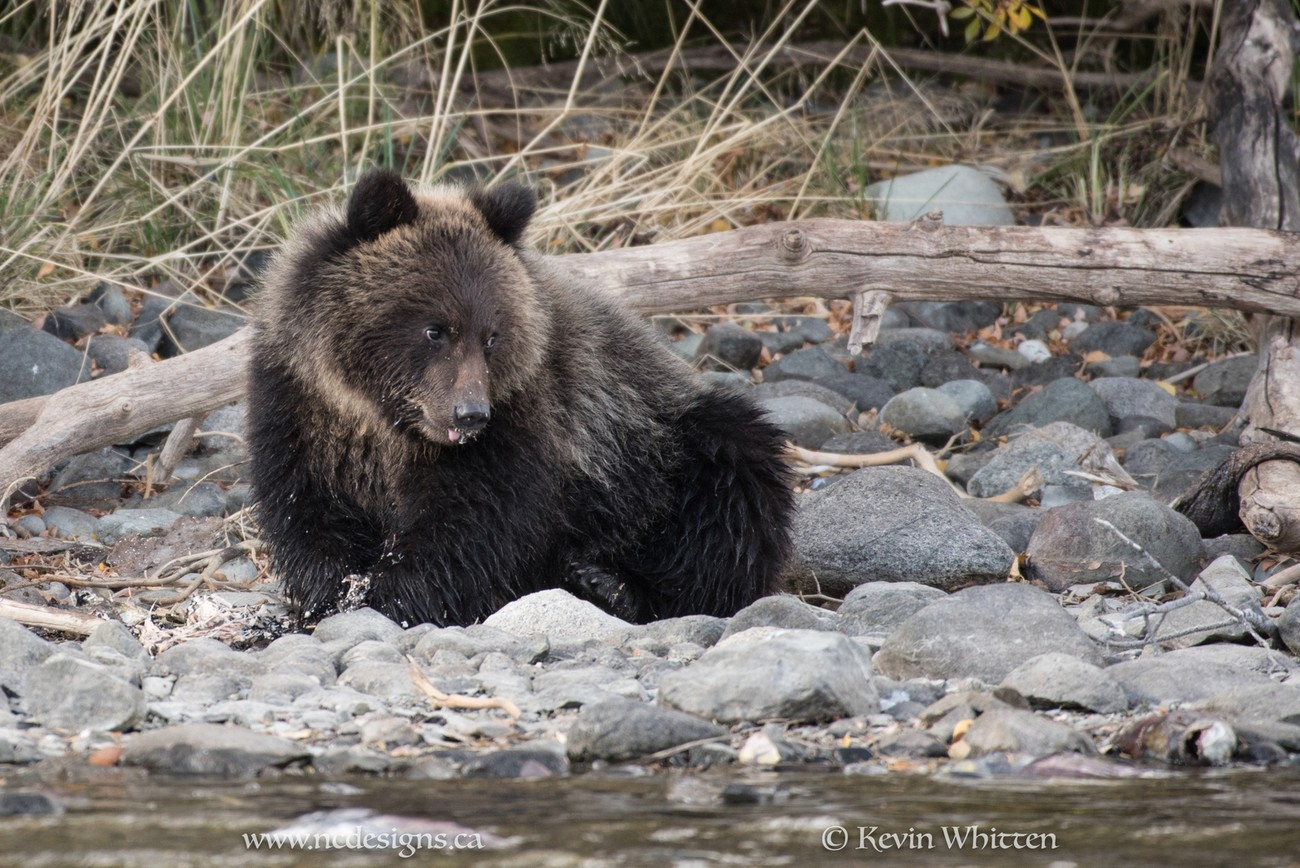 091017-BC Grizzly Bears-3274