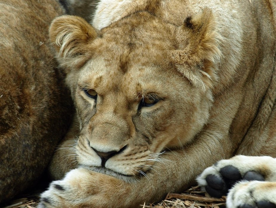 Lion resting after a long day