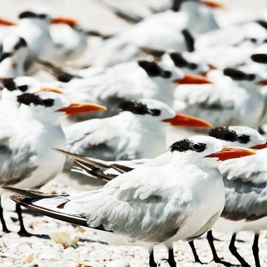 I was lucky to have been given so much access by these many Royal Terns. All of us were relaxed, enjoying the breezes coming from the Gulf of Mexico. Great to be part of the flock for a little while :)
