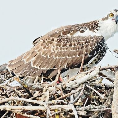 Vibrant, alert, confident female Osprey. I saw her while boating the Ten Thousand Islands in SW Florida. Her nest was on top of a channel marker I had to follow. I passed it slowly and attentively. So she did :)