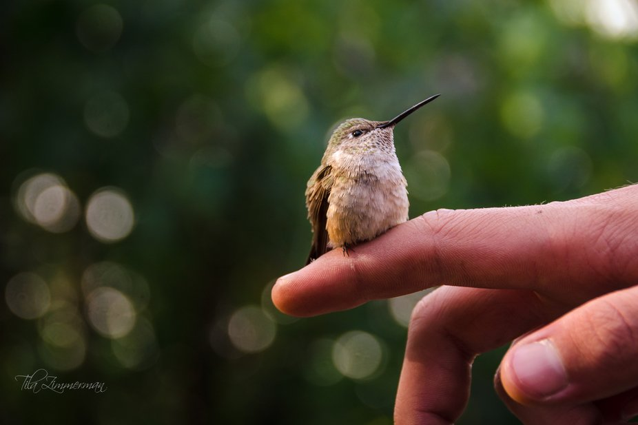 We get 4 different varieties and TONS of hummingbirds at our house during summer months here in C...