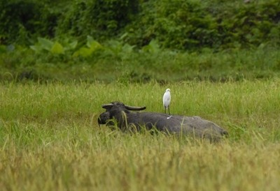 Philippines' Carabao and Egret